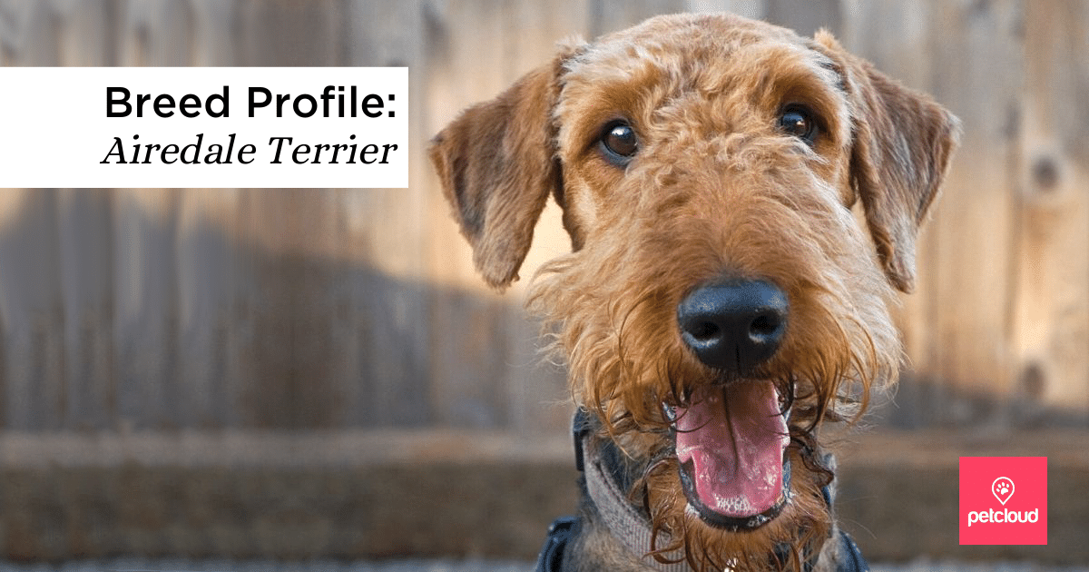 Happy Airedale Terrier blog article image