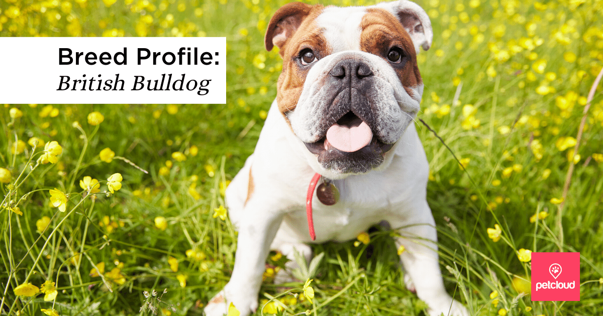 Cute British Bulldog with flowers