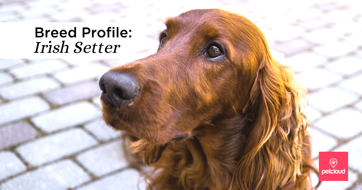 Irish Setter blog article image