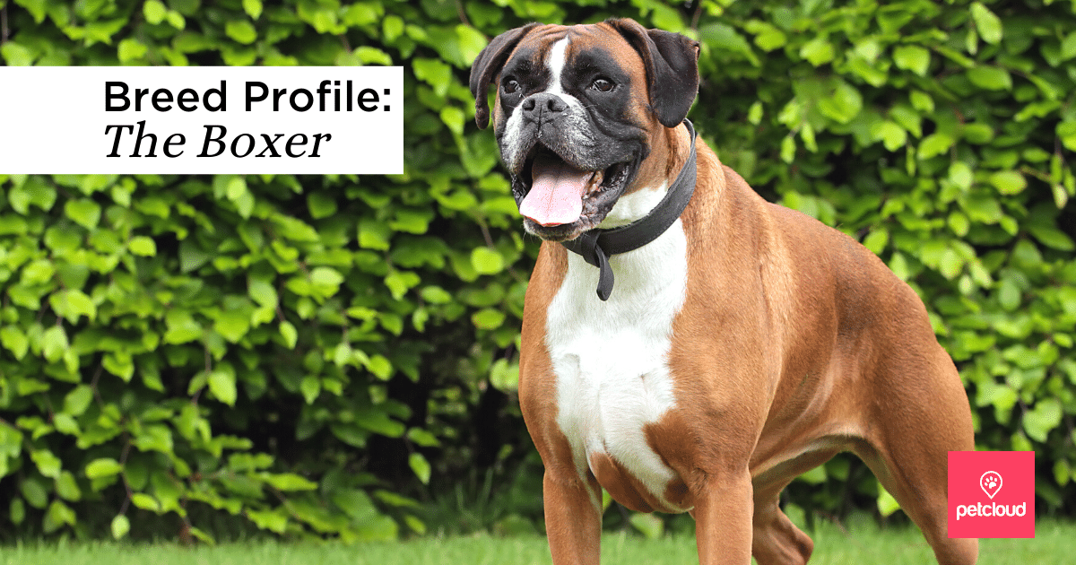 Dog, Pet, Boxer Dog, Animal, Canine blog article image