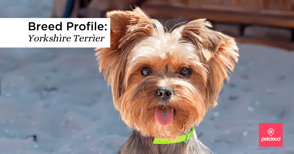 Yorkie, Dog, Cute, Animal, Terrier, Pet blog article image