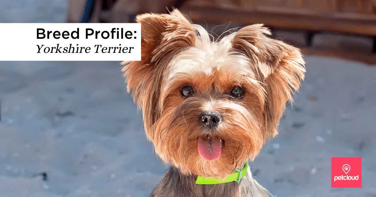 Yorkie, Dog, Cute, Animal, Terrier, Pet
