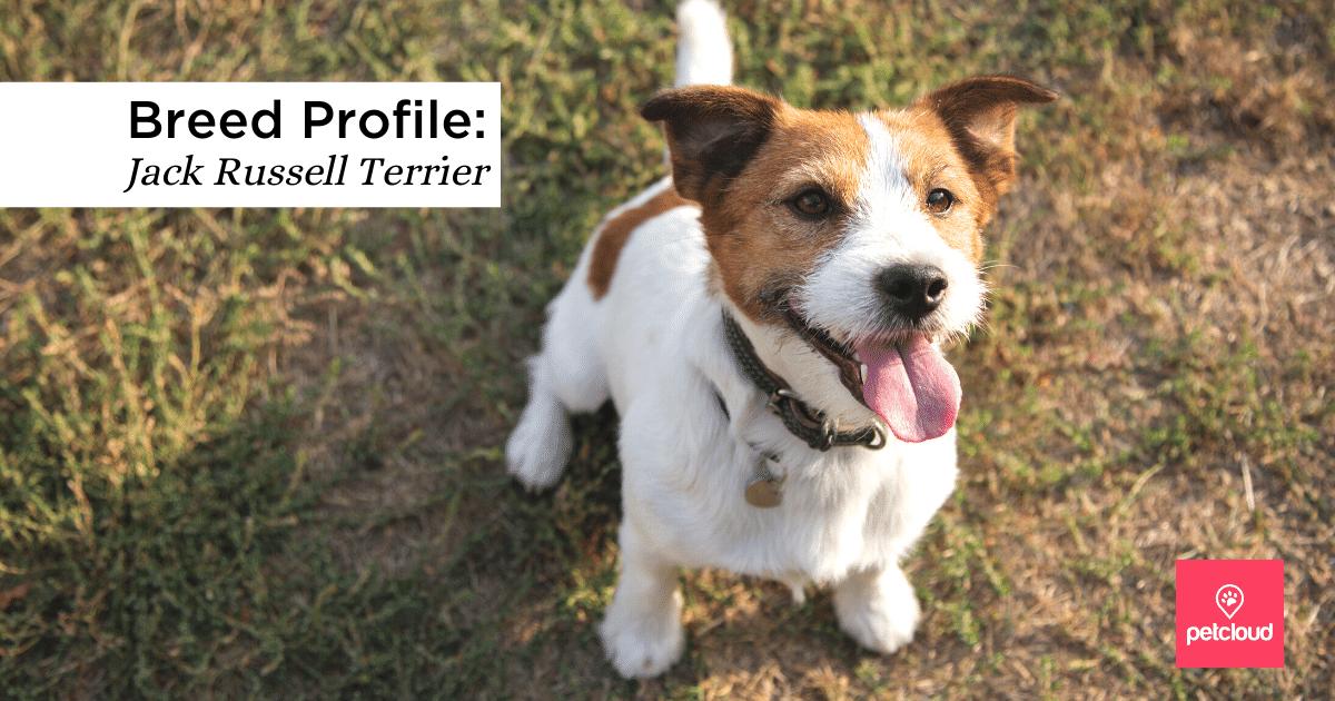Jack Russel, Animal Portrait, Terrier