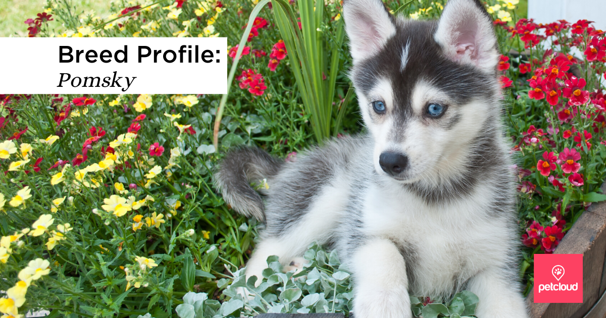 Pomsky Puppy. Very cute Pomsky puppy sitting in a basket outdoors with flowers around her stock photo blog article image