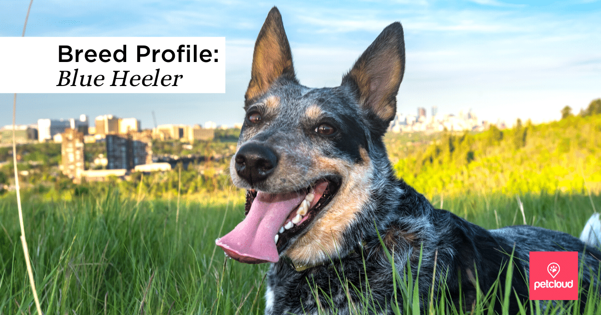 Happy Blue Heeler dog in grass