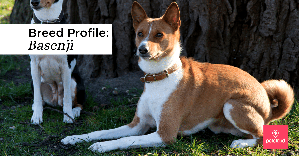 Happy Basenji dog,  Dog, Basenji, Hundbild, Basenji blog article image