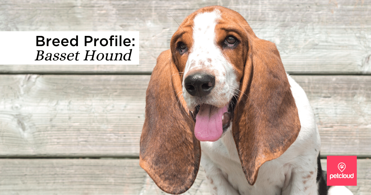 Dog, Basset Hound, Small, Hound, Basset blog article image