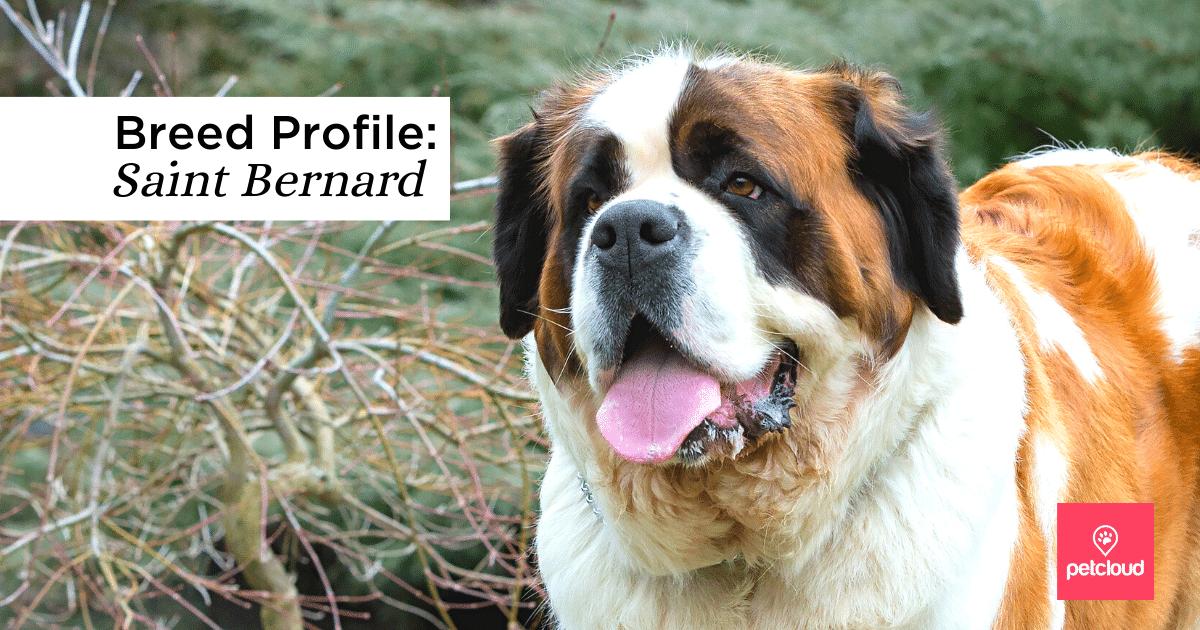 Saint Bernard, Dog, Large Dog, Pet