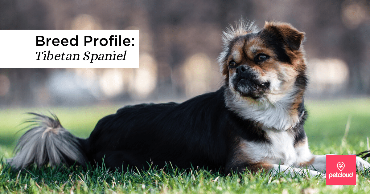 Is The Tibetan Spaniel The Right Dog Breed For You Blog Petcloud