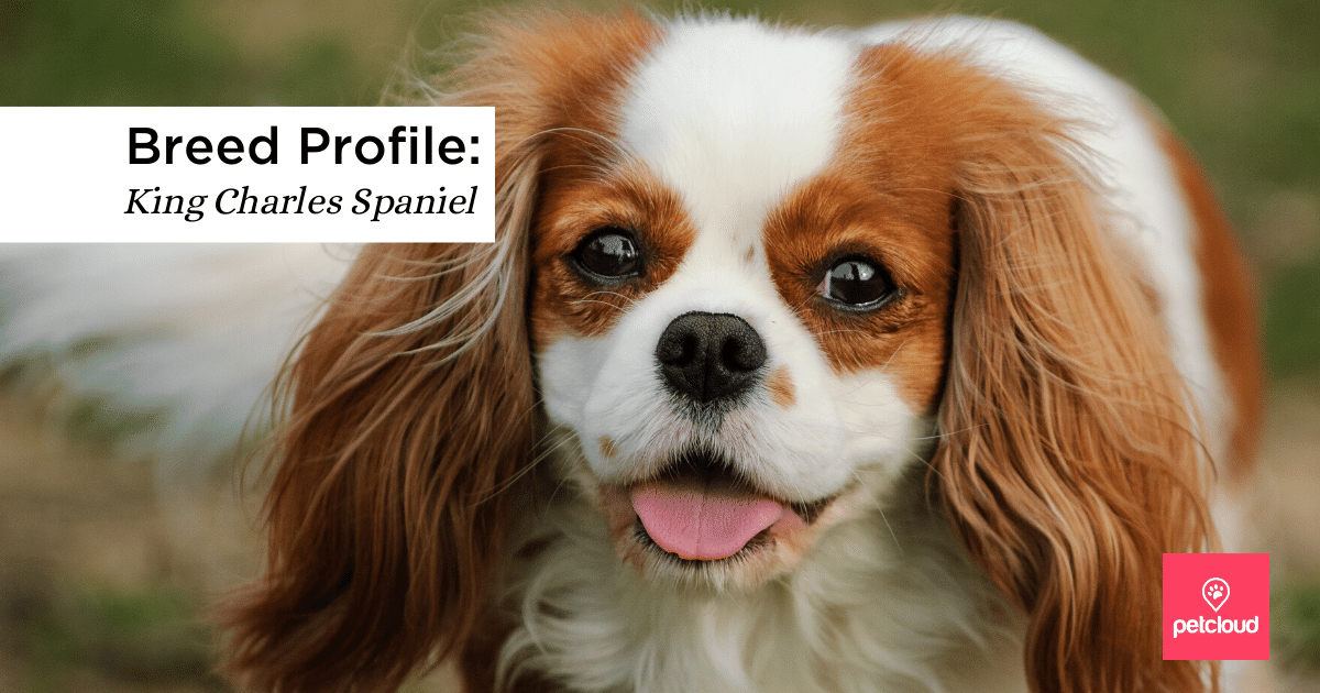 happy King Charles Spaniel  blog article image