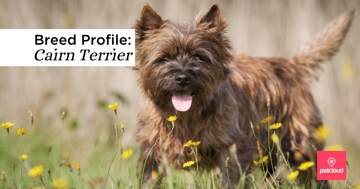 Cairn Terrier blog article image