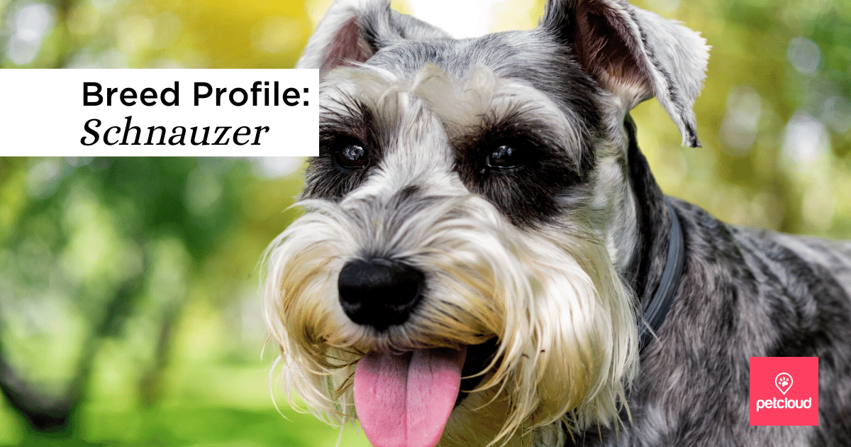 Happy Schnauzer dog with tongue out. Grey and White coat.