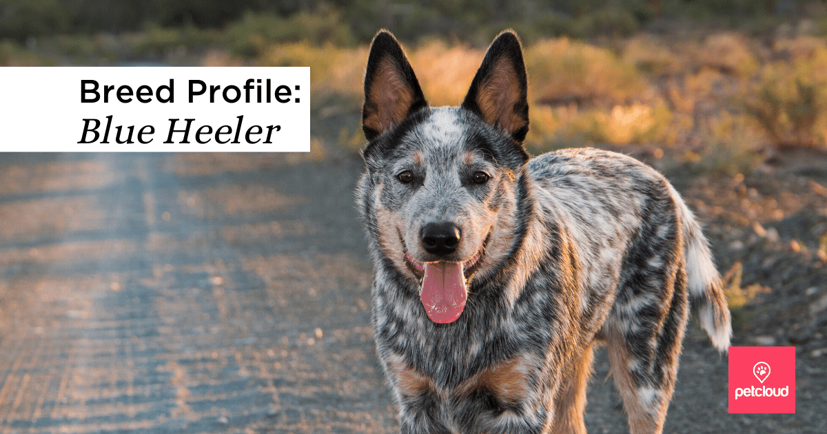 Happy blue heeler dog, cattle dog