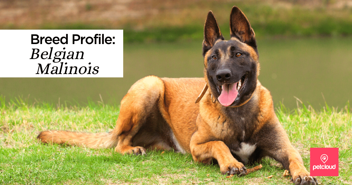 Smiling Belgian Malinois Dog
