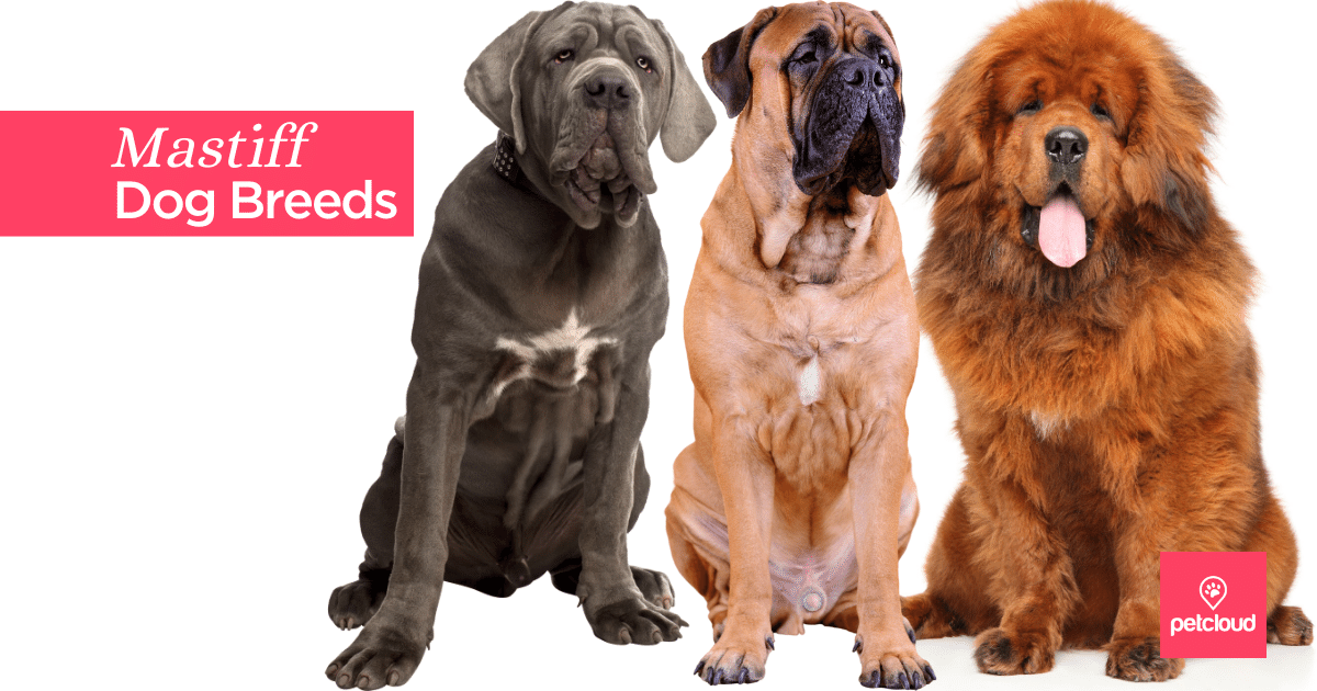 big dog breeds, Mastiff