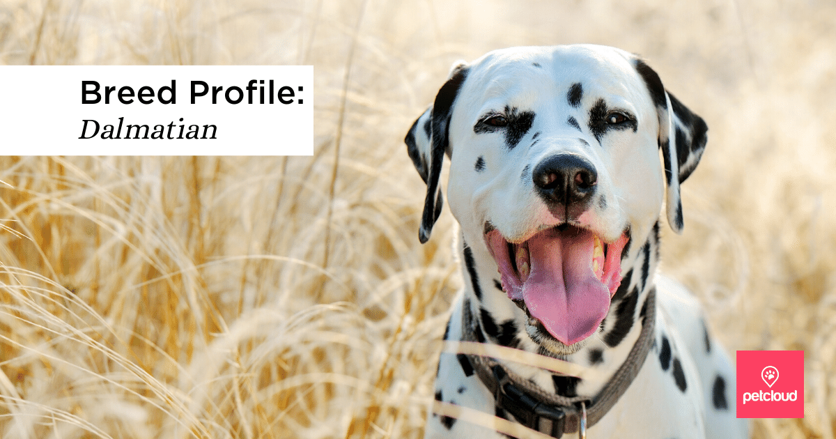 Happy Dalmatian in wheat field