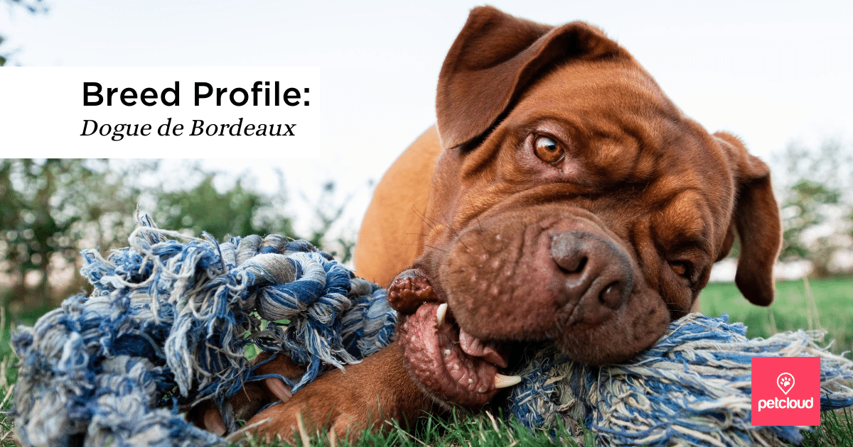 Dogue De Bordeaux, Dog, Puppy, Cute