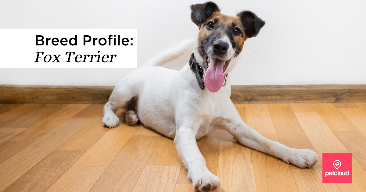 Happy Fox Terrier, Smooth Fox Terrier