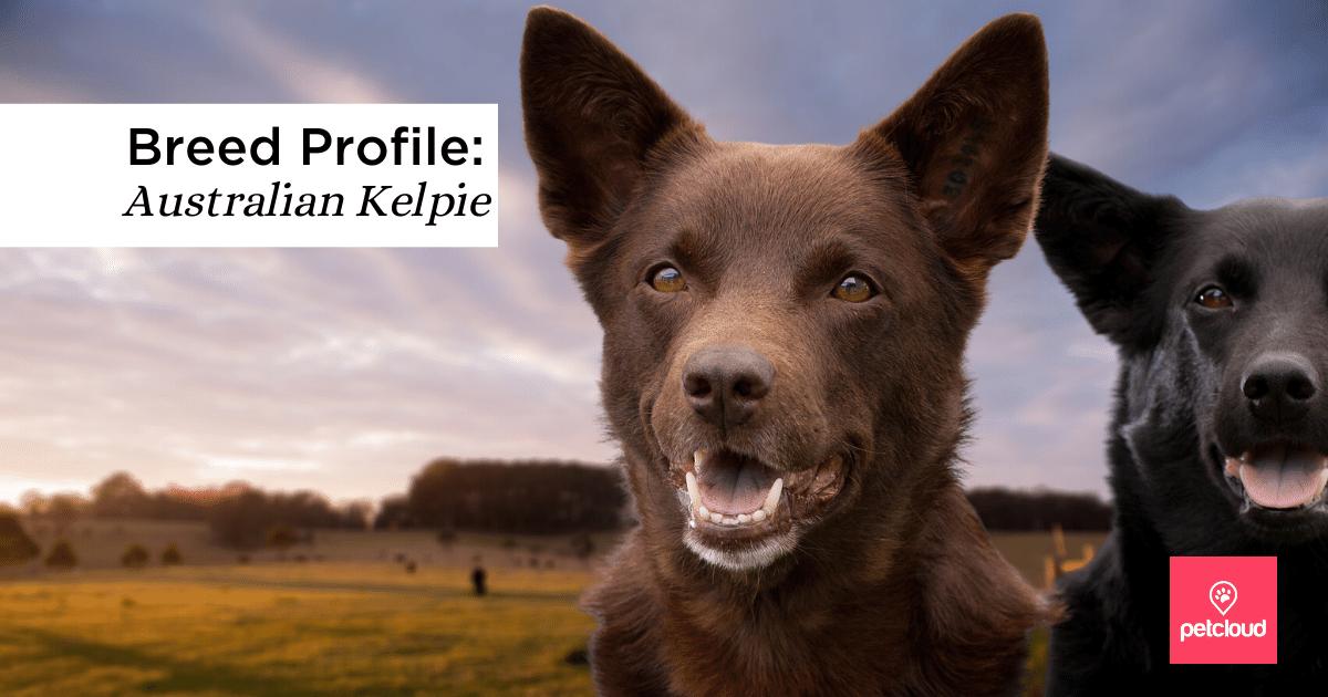 Brown Australian Kelpie