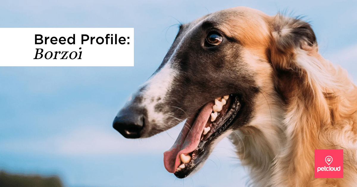 Happy Borzoi dog blog article image