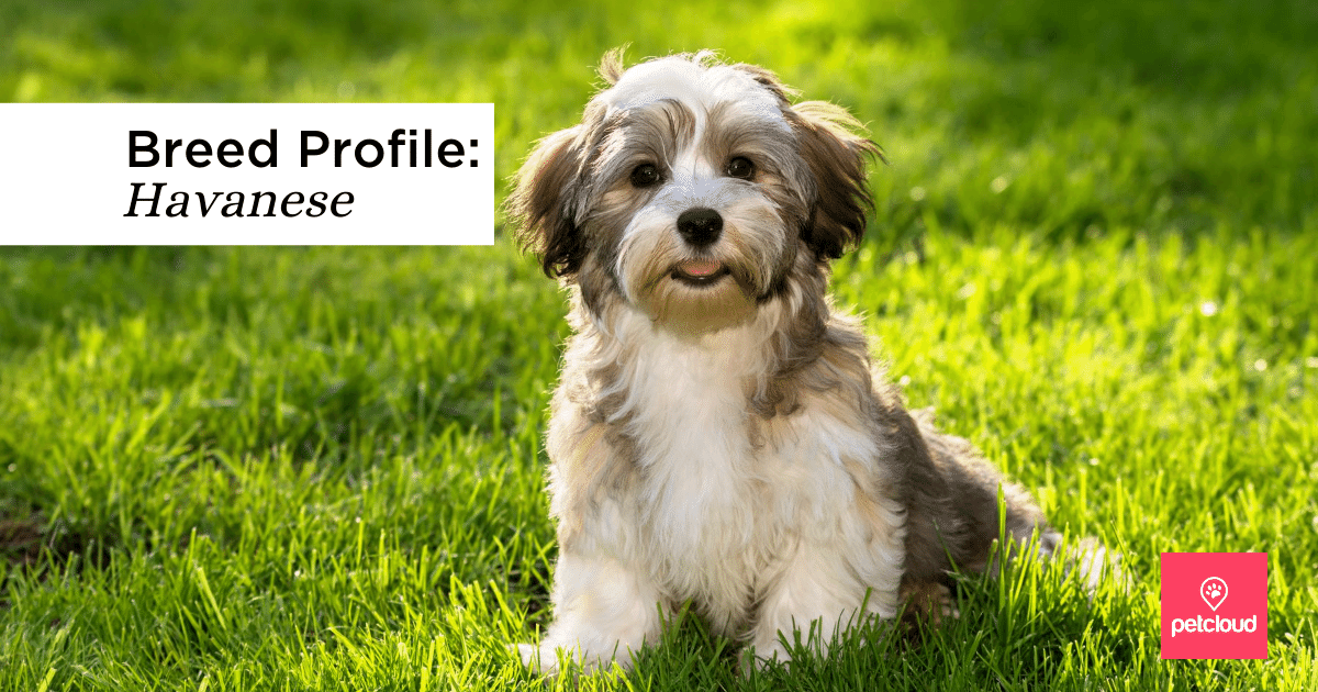 Happy Havanese dog blog article image