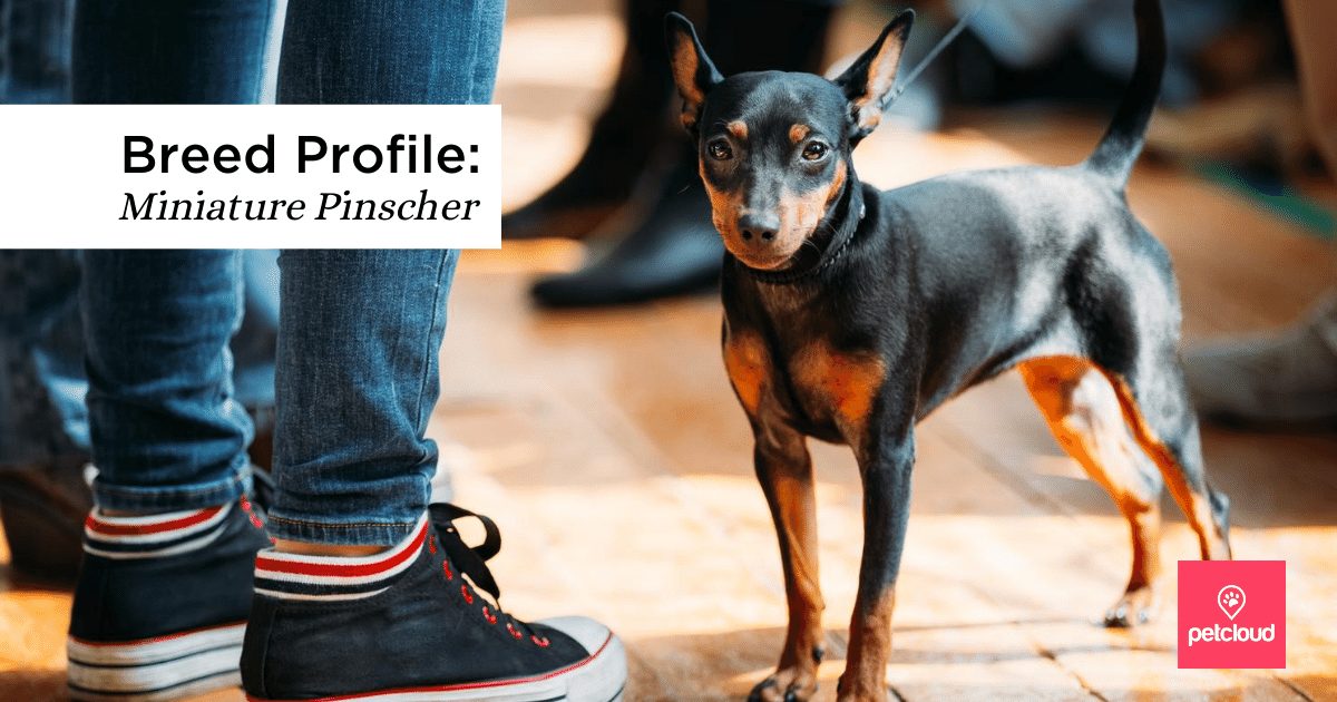 Miniature Pinscher blog article image