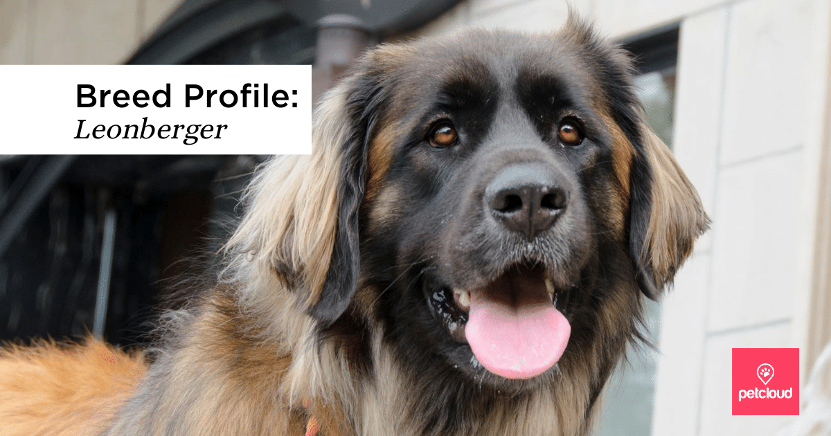 Happy Leonberger with tongue out