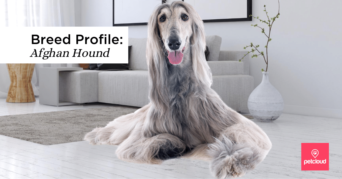 Afghan, Greyhound, Afghan Hound, Spout blog article image