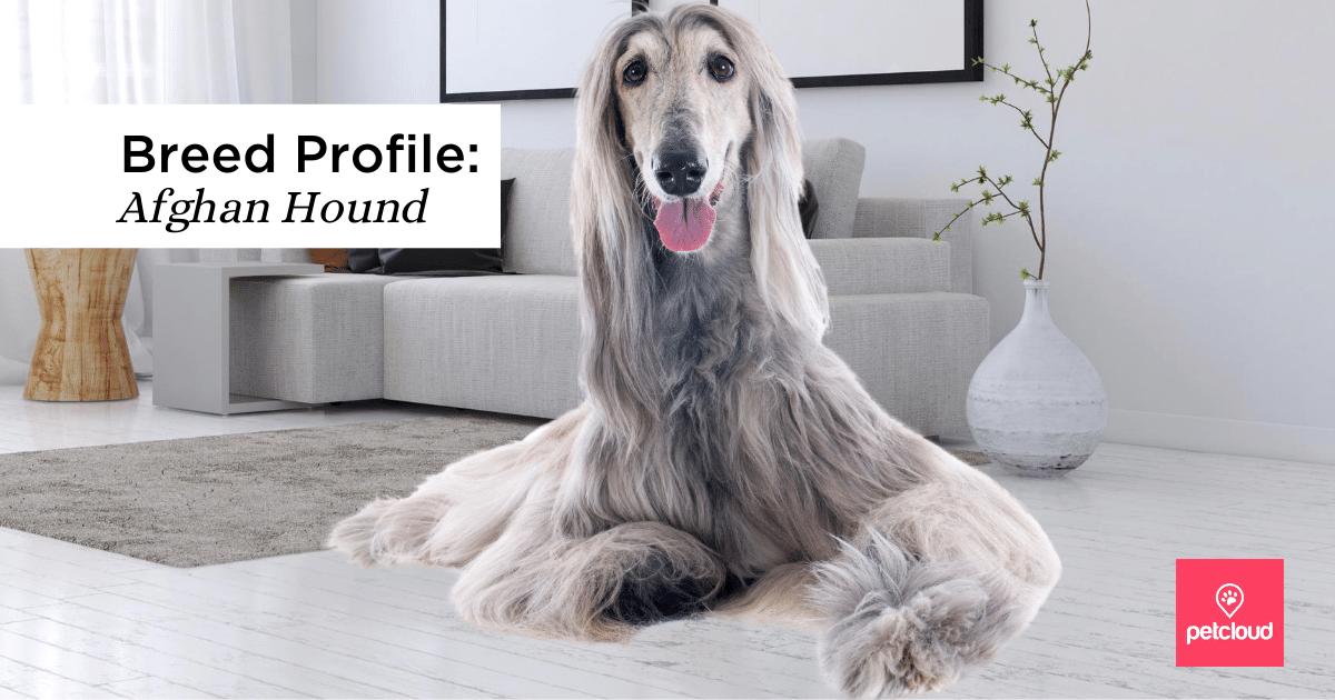 Afghan, Greyhound, Afghan Hound, Spout