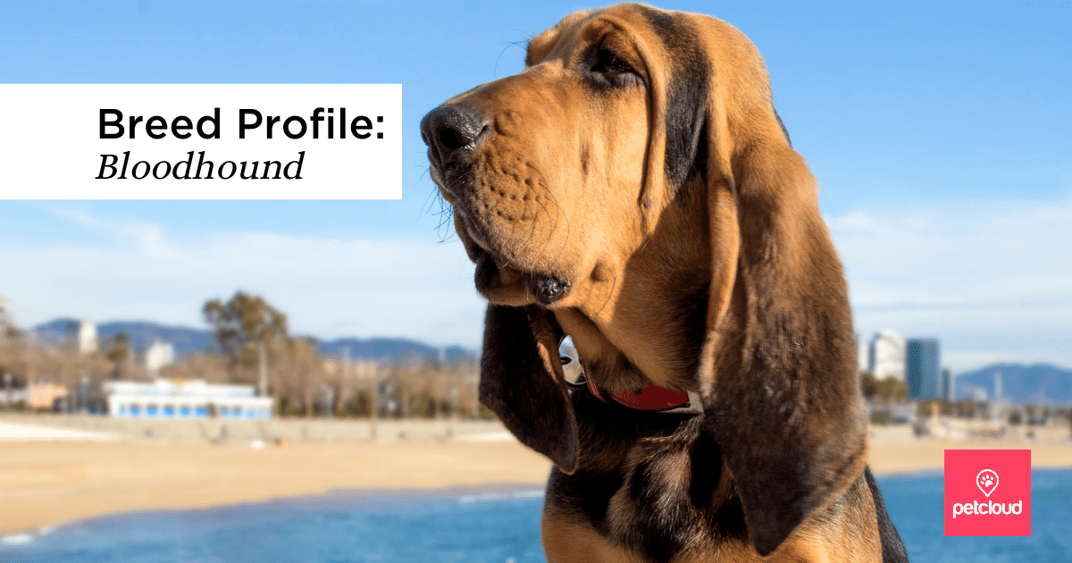 Bloodhound, Black, Tan, Puppy, Helmut blog article image