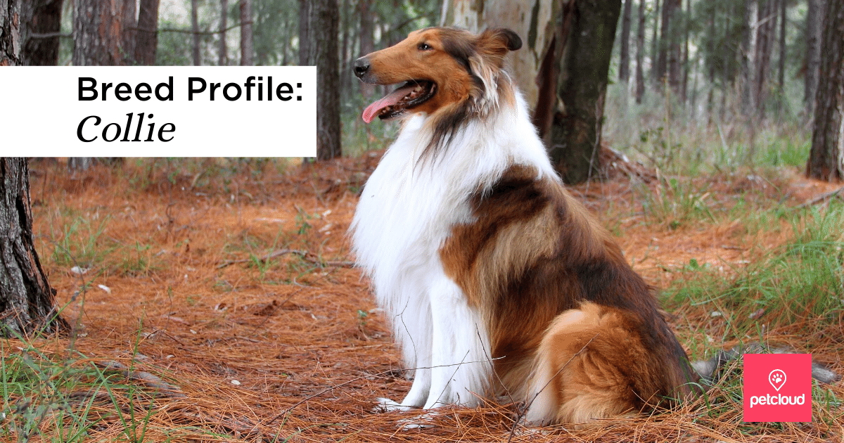 Collie, Dog, Animal, Pet