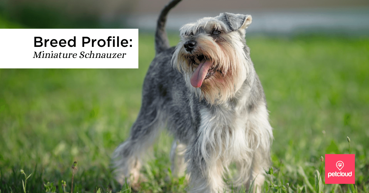 Pet, Puppy, Furry Friend, Dog, Animal, schnauzer blog article image
