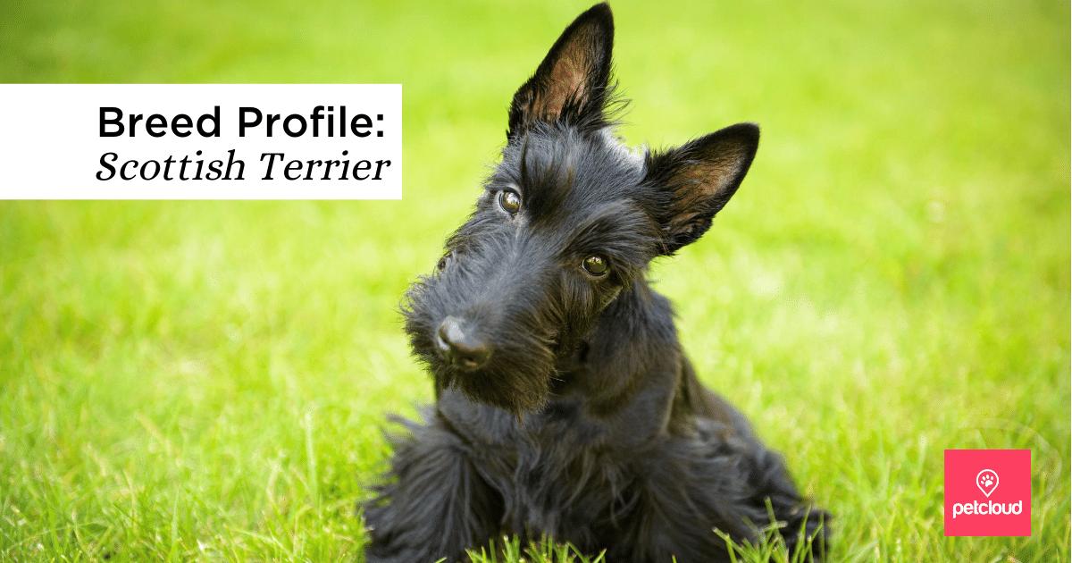 Scottish Terrier, Dog, black dog