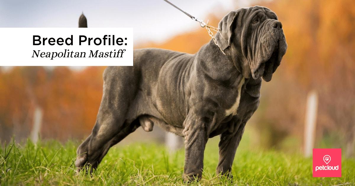 Grey coat Neapolitan Mastiff in grassy field, big dog, large dog