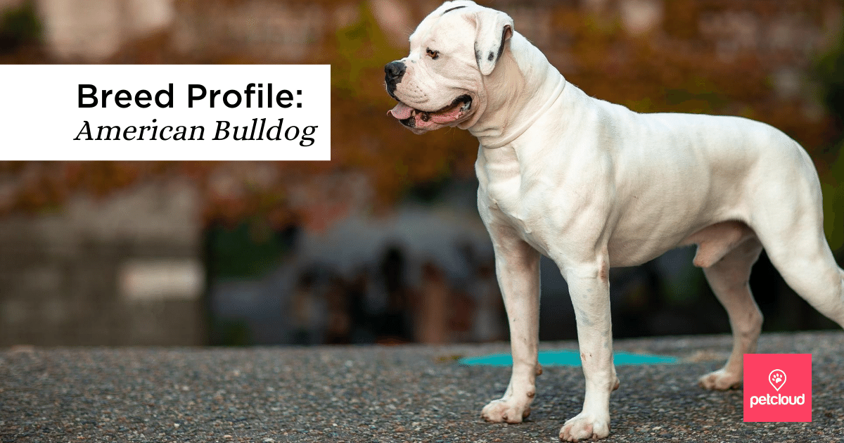 Happy Smiling American Bulldog blog article image