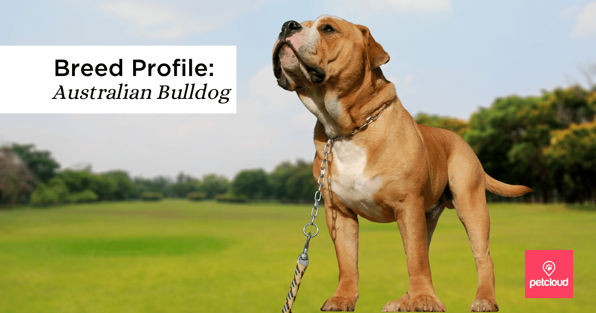 Australian Bulldog blog article image