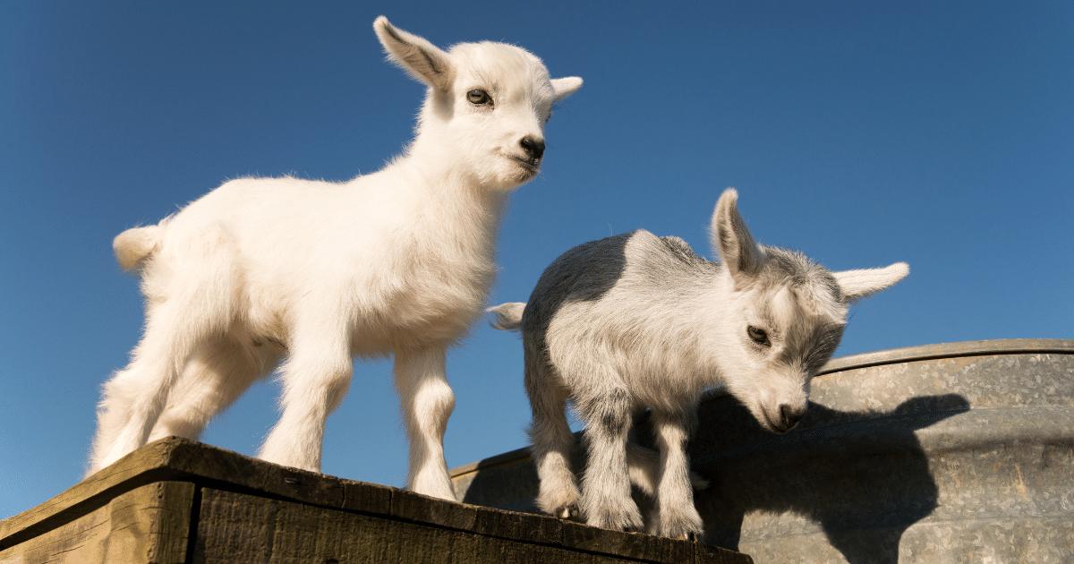 Two cute Pet Pygmy Goats