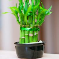 ?Lucky Bamboo