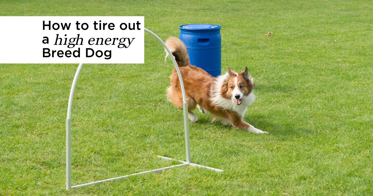 High energy breed dog doing agility on a field