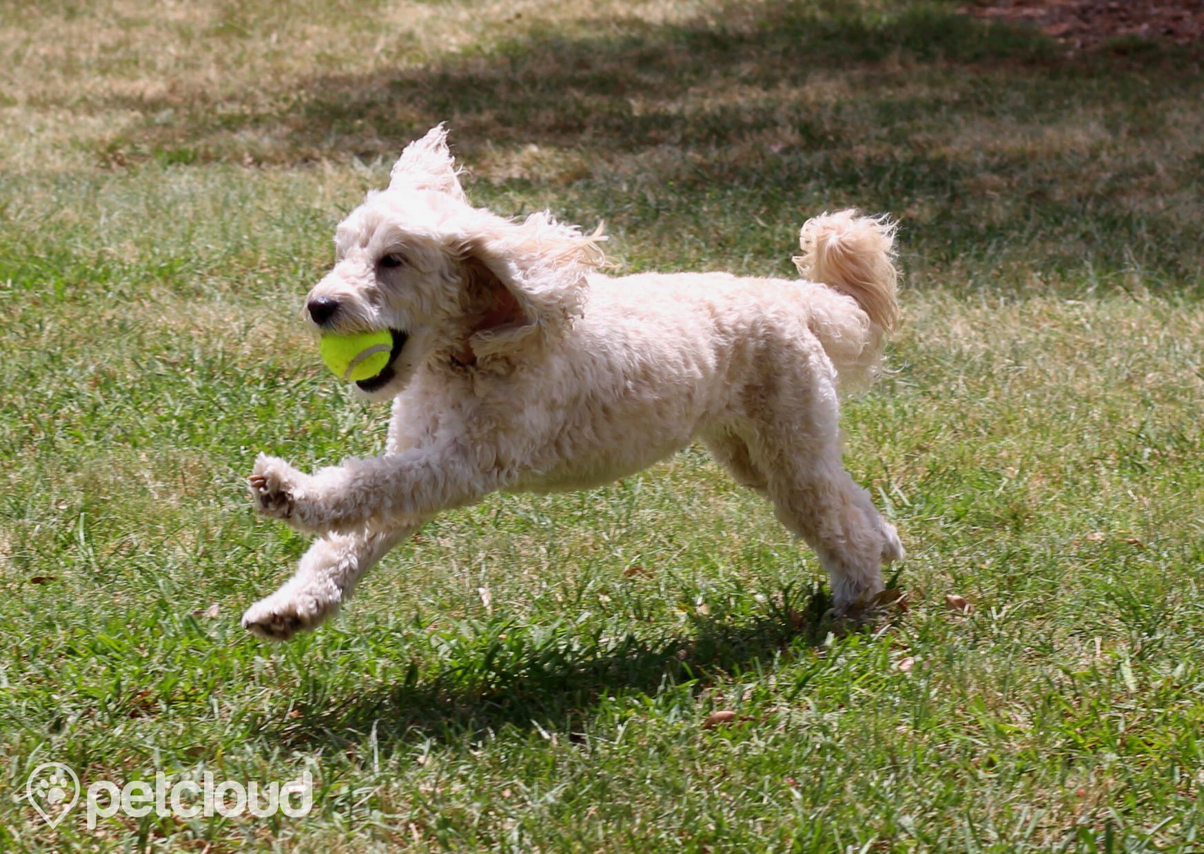 spoodle dog, mixed poodle breed, mixed spaniel breeds, furry white dog with ball in mouth